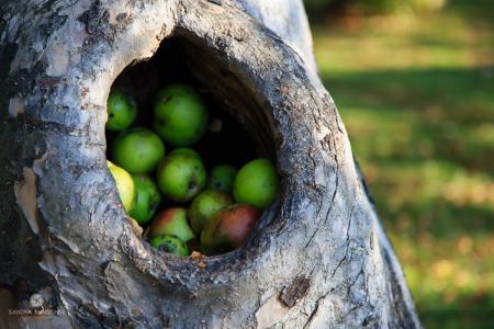 Aepfel apples Apfelbaum appletree autumn fall Kunschke