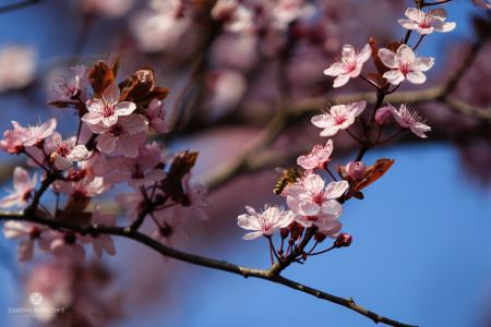 Zierkirschbaum Kirschbaum Biene Frühling bee spring cherry tree Kunschke